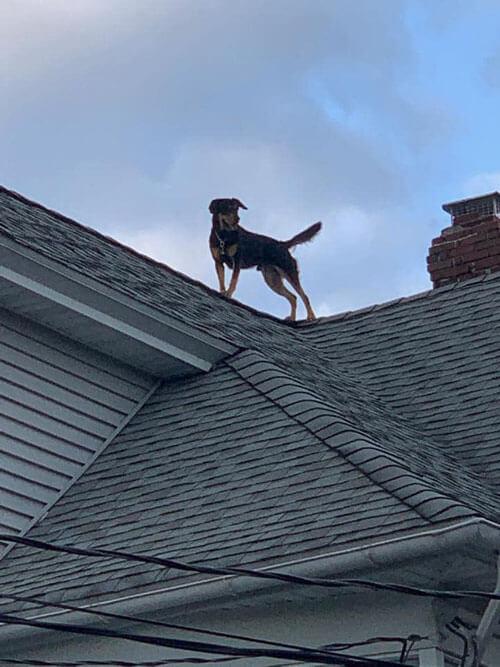 собака залезла на крышу дома