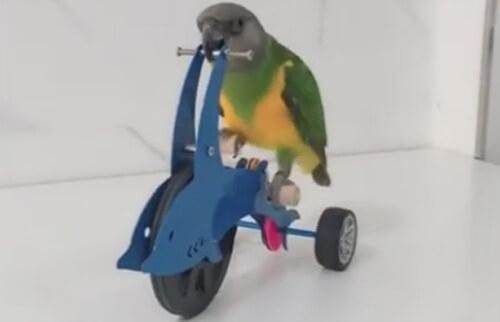 умный попугай на велосипеде