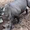 имена на спине у носорога