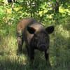 штрафы для владельца свиней