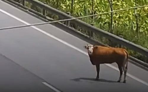 поимка сбежавшей коровы