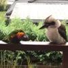 межвидовая любовь попугая