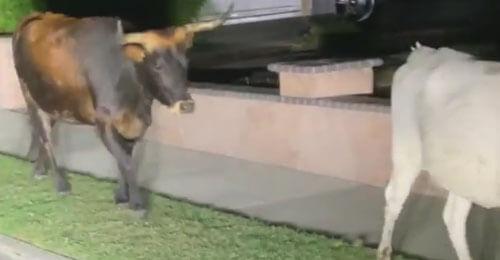 коровы гуляют каждую ночь