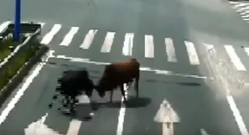 горожане полюбовались боем быков