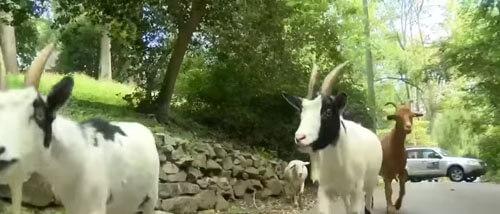 стадо сбежавших животных