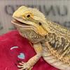 бородатый дракон в школе