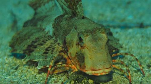 рыба умеет ходить по дну