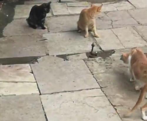 кобра в окружении кошек