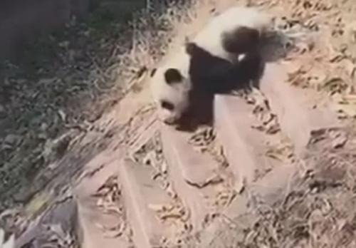 панда спускается с лестницы