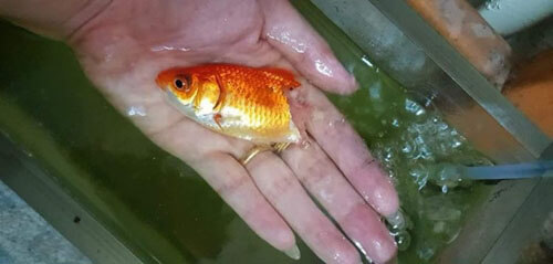 лечение наполовину сгнившей рыбы