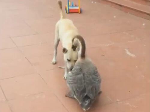 собака и гусь подружились