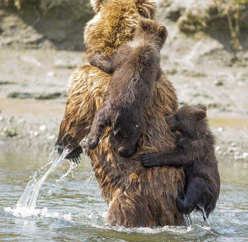 детёныши на спине медведицы