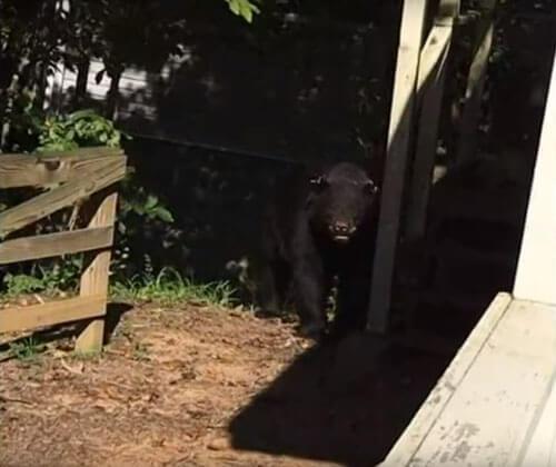 медведь чуть не ворвался в дом