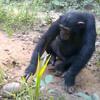шимпанзе встретили черепаху