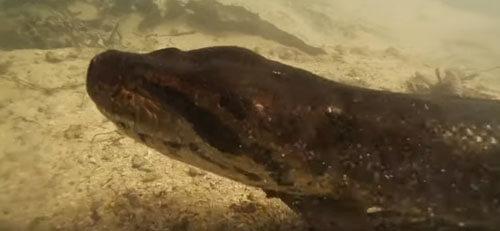 гигантская анаконда под водой