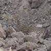попытки найти леопарда на фото