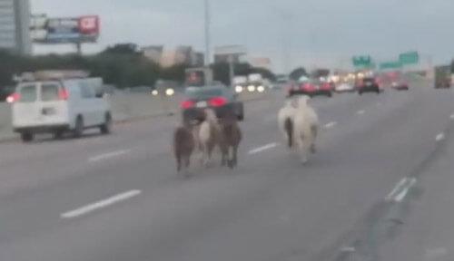 лошади и пони разбежались