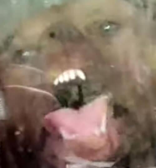 пёс лижет стеклянную дверь