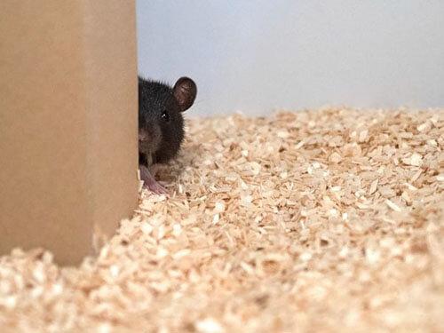 крысы играют в прятки