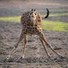 фотографии с пьющим жирафом
