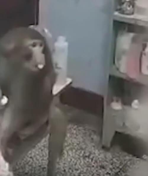 обезьяна украла чужой зефир