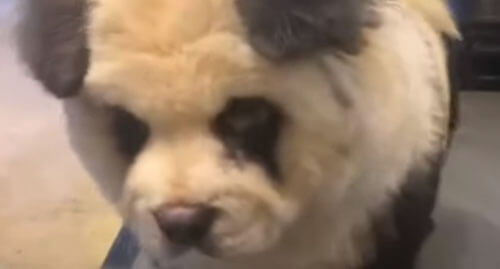 кафе с фальшивыми пандами