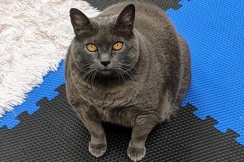 упражнения для толстой кошки
