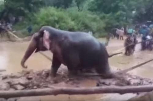 селяне спасли слониху из грязи