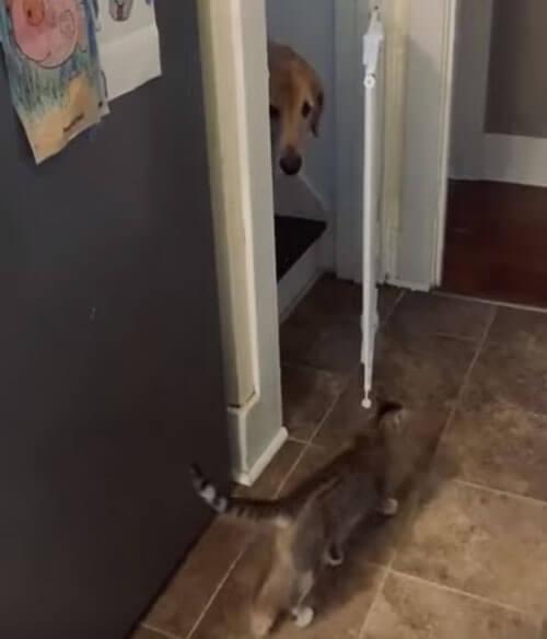 кошка открыла воротца для пса