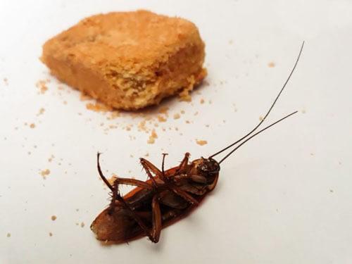 таракан вывел потомство в ухе