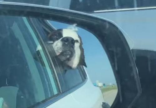 собака хлопает щеками на ветру