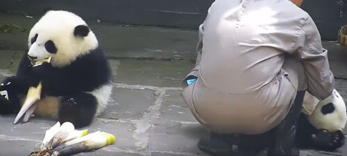 панда жуёт полотенце