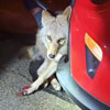 койот застрял в бампере машины