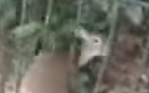 олень застрял в заборе