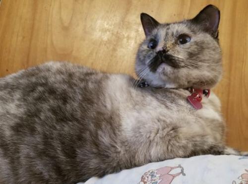 кошка похожа на чарли чаплина