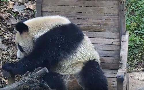 панда и кресло-качалка