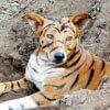 собаку превратили в тигра