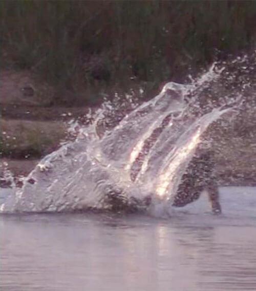 неловкий бабуин переходит реку