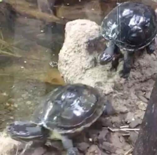 черепаха совершила кувырок