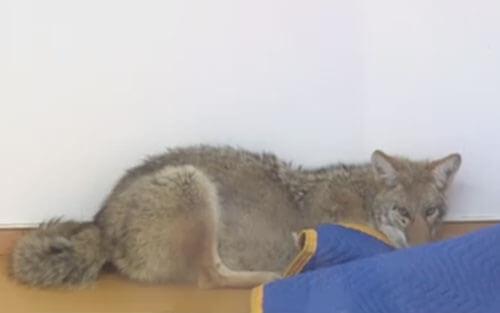 койота приняли за собаку