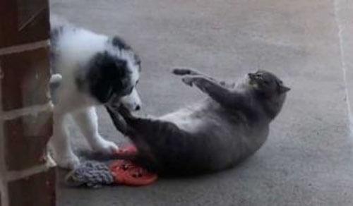 щенок овчарки и толстый кот