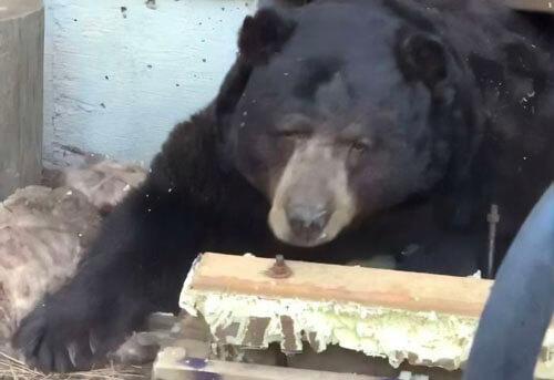 медведь в подвале дома