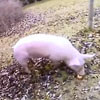 свинья неохотно сдалась полиции