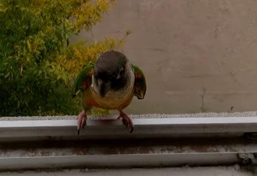 попугая выбрасывают из окна