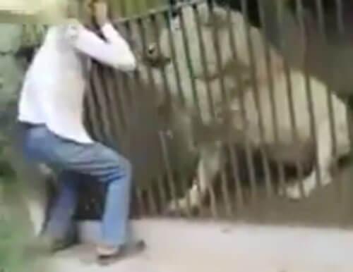 лев атаковал смотрителя зоопарка