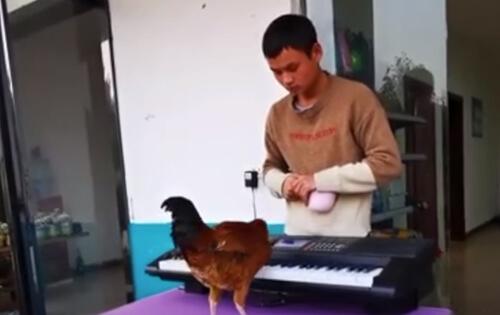 талантливый музыкальный петух