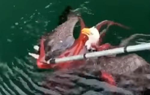 схватка орла и осьминога