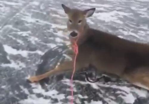 спасение оленей с ледяного озера