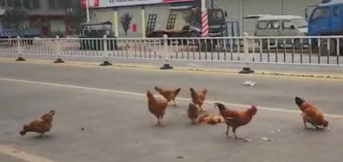 траурная церемония кур на дороге