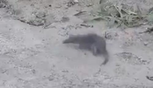 крыса бегает кругами